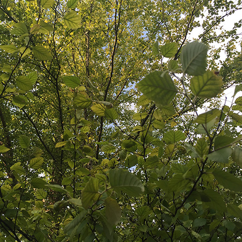 River Birch With Chlorosis